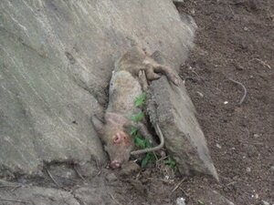 В Приморье на животноводческой ферме обнаружены трупы и кости животных