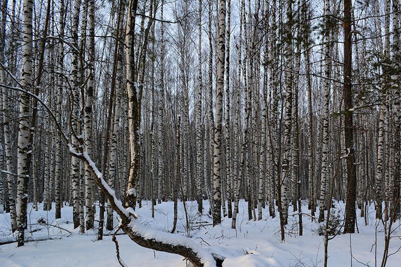 зимний лес 16