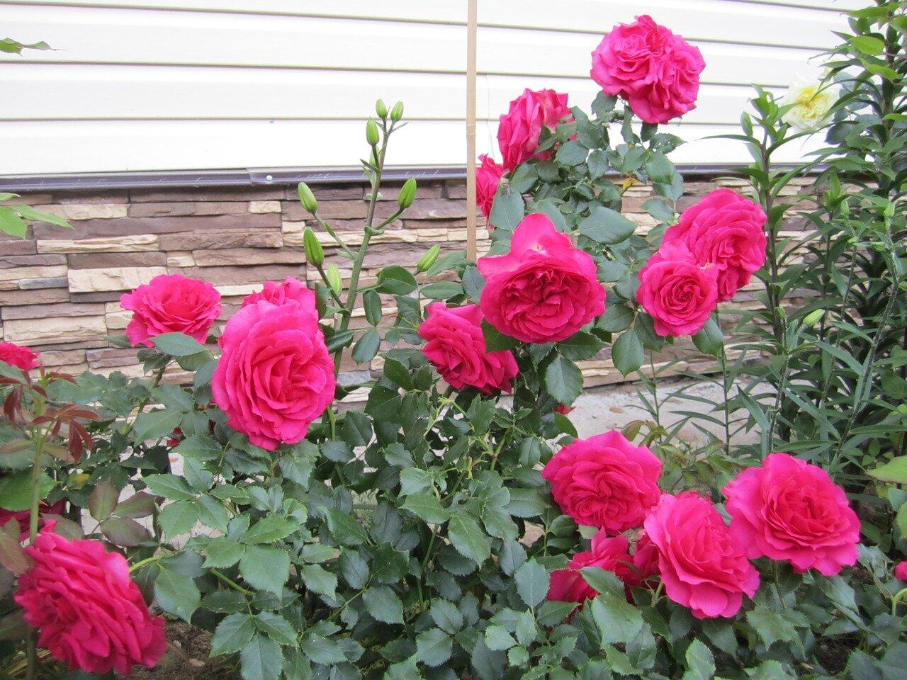 Роза маритим фото 4