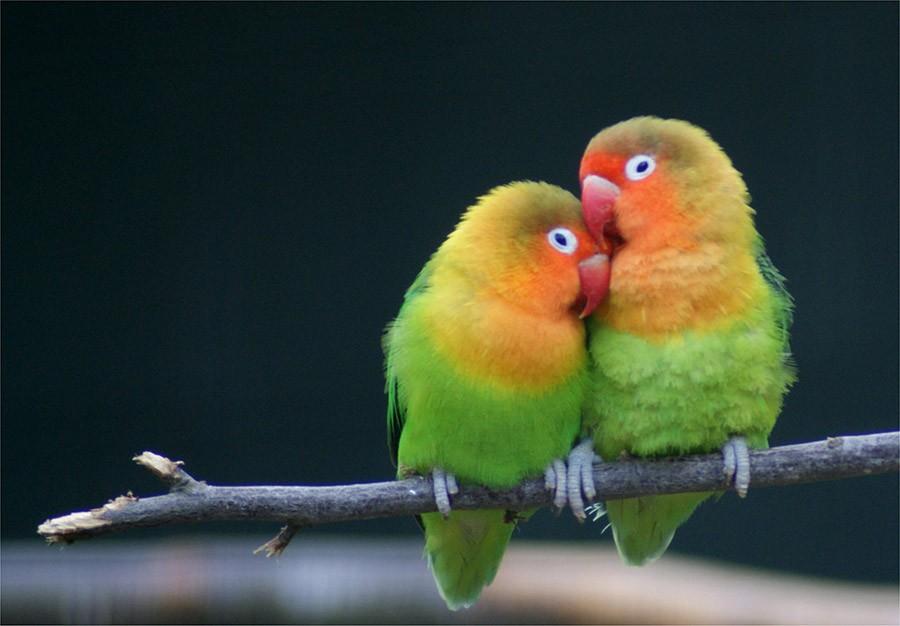 Так, если двурогие калао похожи на ваших друзей, которые жить не могут друг без друга, то неразлучни