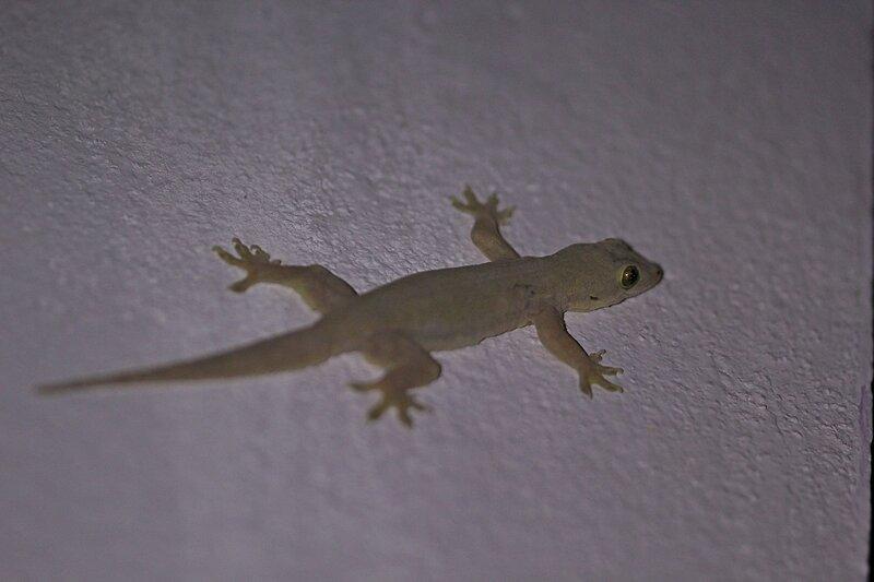 Геккон полупалый домовой (Hemidactylus frenatus) на белой стене дома