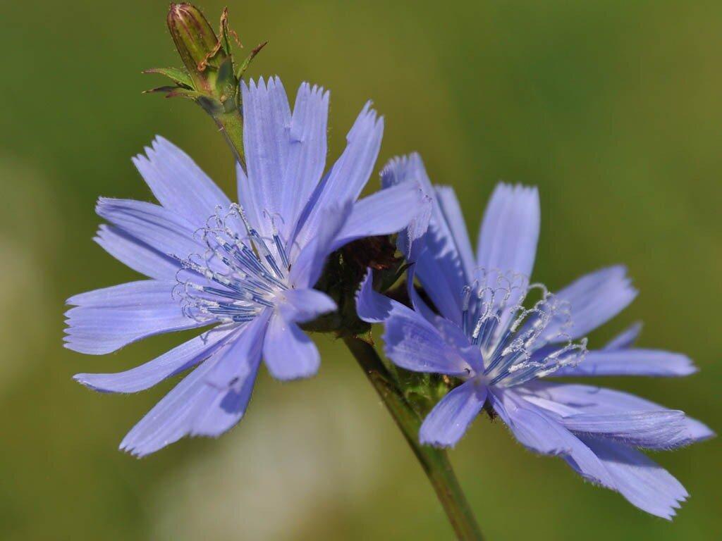 Цикорий обыкновенный (Cichorium intybus) Автор фото: Владимир Брюхов