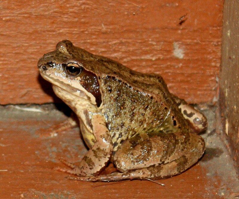 лягушка или жаба...