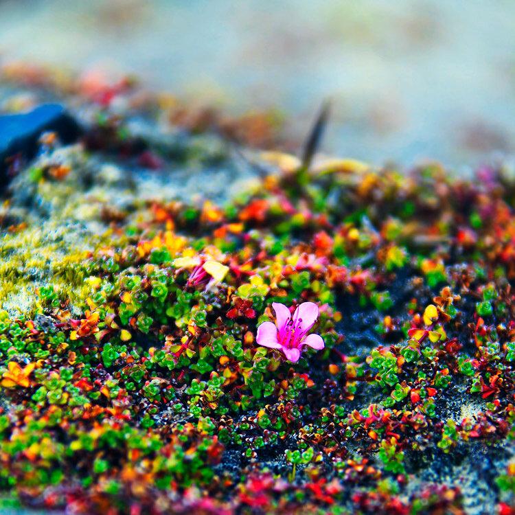 Цветы на севере россии