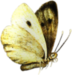ldavi-paintersfaeries-butterfly3.png