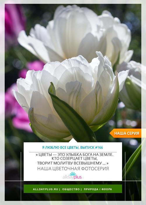 Я люблю все цветы, выпуск 166 | Тюльпан «Ice Age».