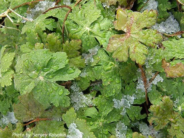 Geranium macrorrhizum Ingwersens Variety.jpg