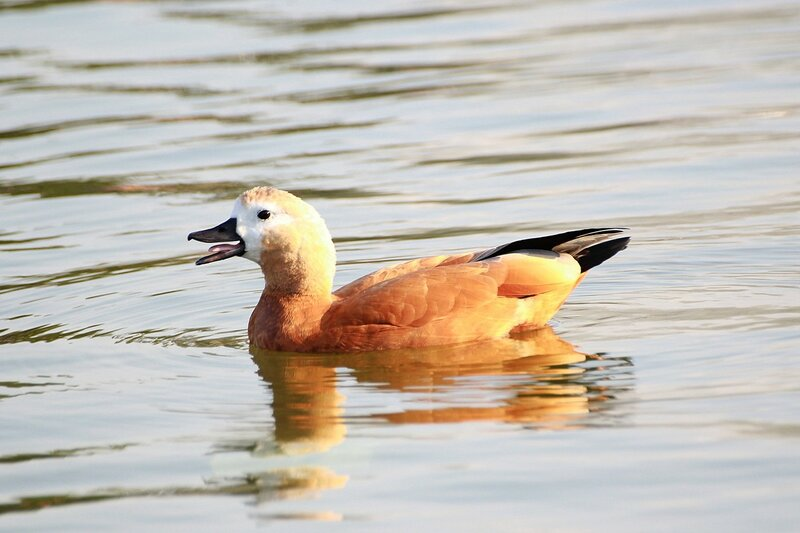 Огарь (красная утка, Tadorna ferruginea) - утка рыжего (оранжево-коричневого) окраса с более светлой головой и почти гусиным профилем крякает