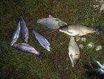 Первая сентябрьская рыбалка. Карпы и Форель. Калиновка