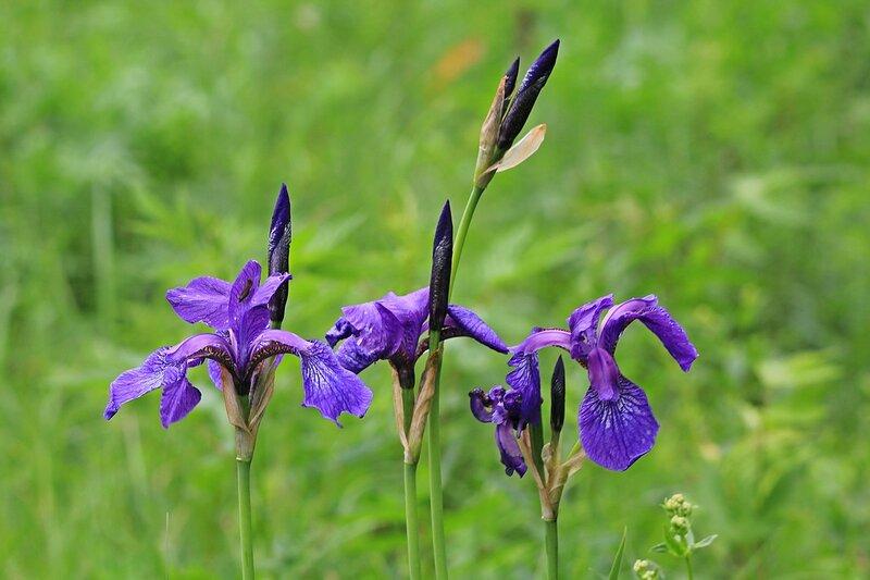 Цветёт дикий ирис (касатик) на лугу у Чёрного озера