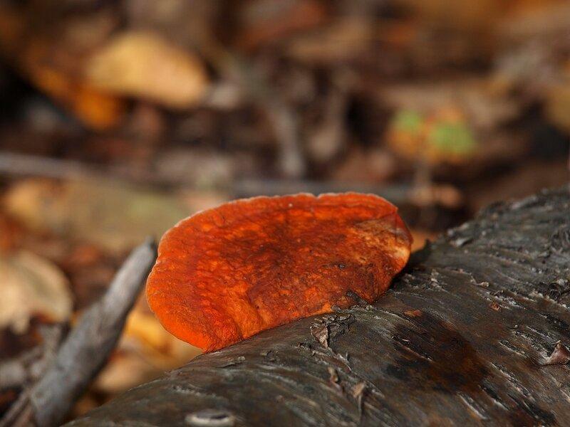 Пикнопорус киноварно-красный (Pycnoporus cinnabarinus)