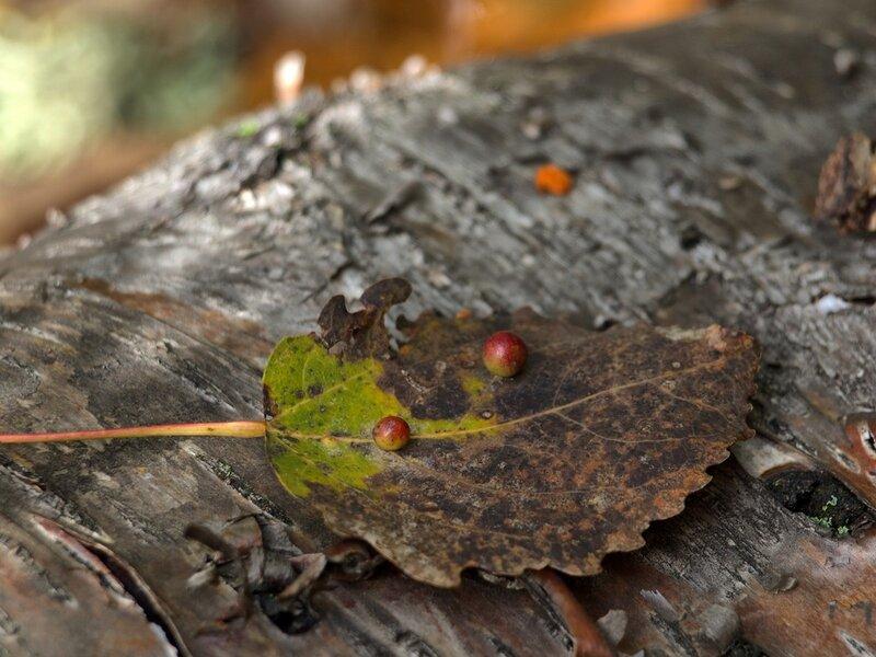 галлы на листе осины