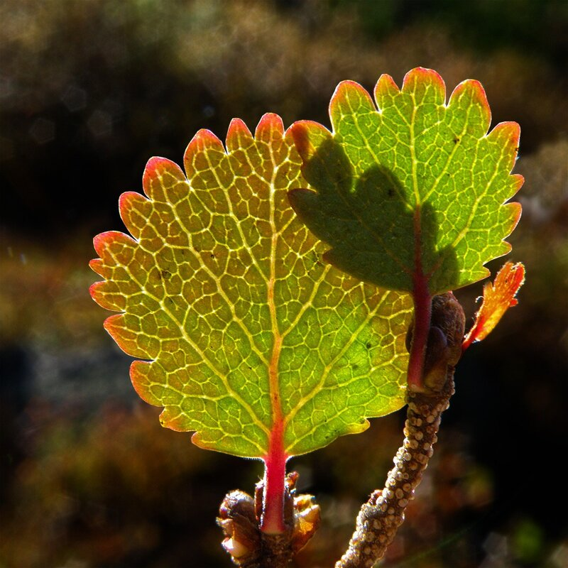Листья карликовой берёзы