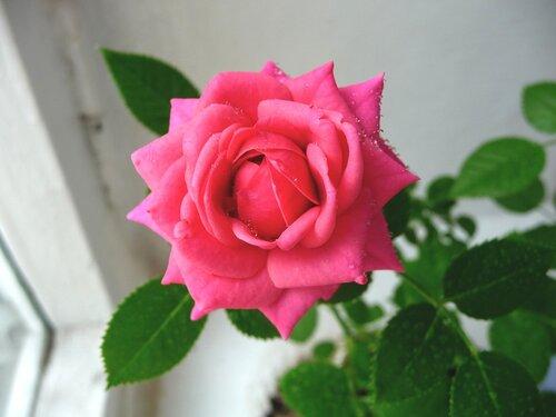 Роза на окошке