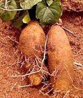 полезные свойства батата_poleznye svojstva batata