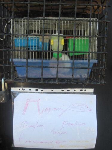 продаются крысы