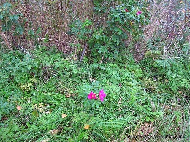 Осенний цветок шиповника