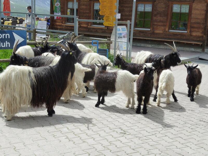 А это местная порода коз - такие вот они черно-белые:)