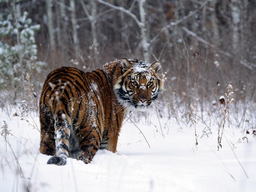 Стая амурских тигров расслабляется после сытного обеда 0 141af7 428d2be2 orig