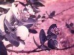 Эфиопия Гондэр цветок.jpg
