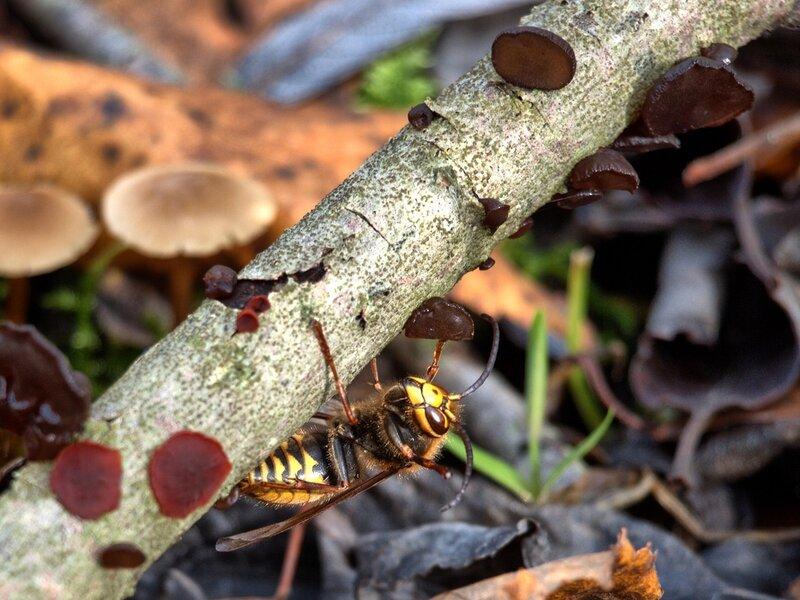Шершень обыкновенный (Vespa crabro) и Эксидия сжатая (Exidia recisa)