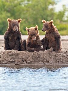 медвежата у реки