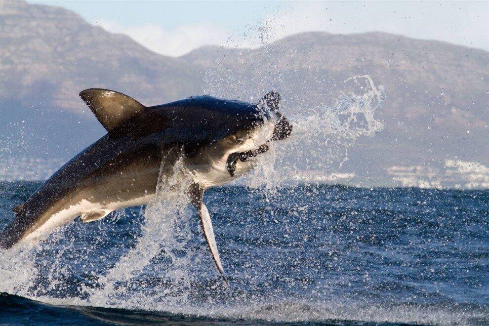 Новое развлечение — охота на акул за деньги появилось в Приморье ... | 660x990
