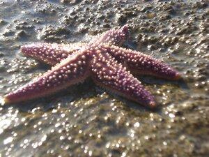 Морских звезд можно поймать прямо в городе