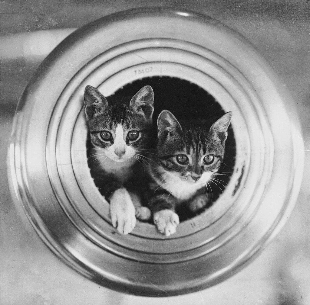 The ship's cats, HMS 'Hawkins'