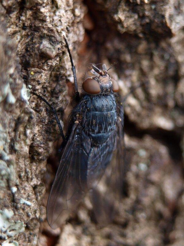 Красноголовая синяя муха (Calliphora vicina) PA089695