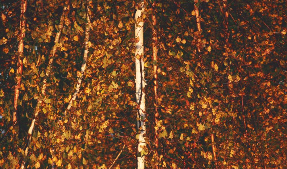золотая осень золотые листья
