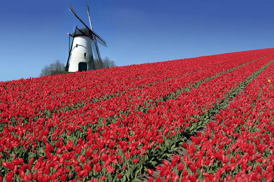 Голландские тюльпаны.png