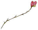 Secret Garden Flower9.png