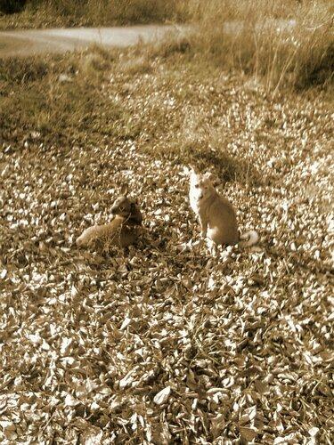 Собаки на листьях