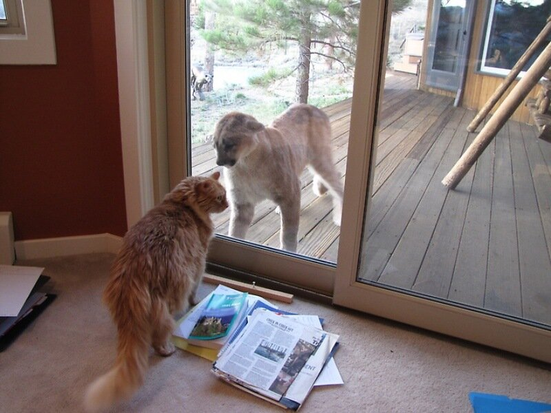 Zues, an 11-year-old Maine Coon cat, had a curious encounter with a young mountain lion in Boulder, with the pair safely separated by a sliding glass door.The cats checked each other out at about 6:30 p.m. Thursday in the Pine Brook Hills area of Boulde