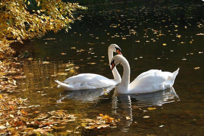 "стихи"" два лебедя жили на"