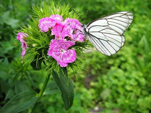 Гвоздика и бабочка.