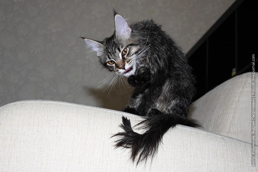 мокрый котенок Мейн-кун