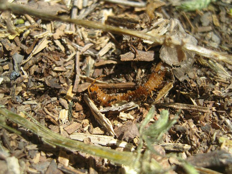 ...остатки многоножки через час после оккупации муравьями