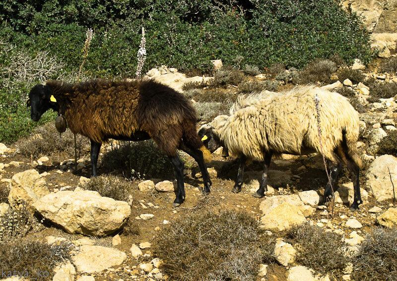 Греческие овцы