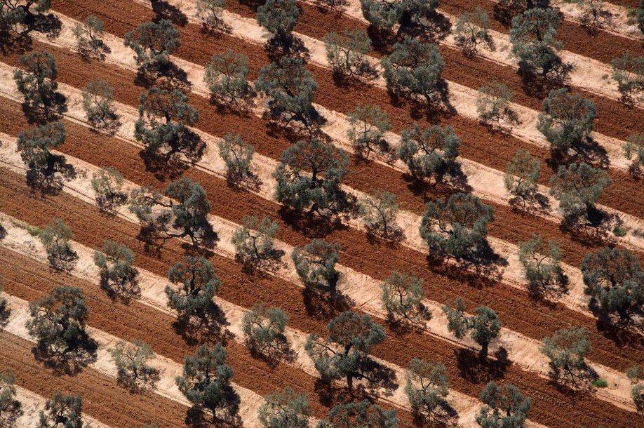 17. Оливковая плантация в Андалусии.