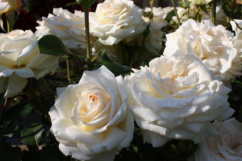 Роза Амбиенте, ч\г ( Ambiente) Ноак 2001