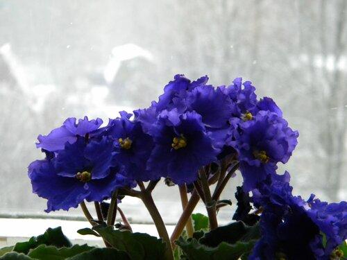 Фиалка на фоне зимы