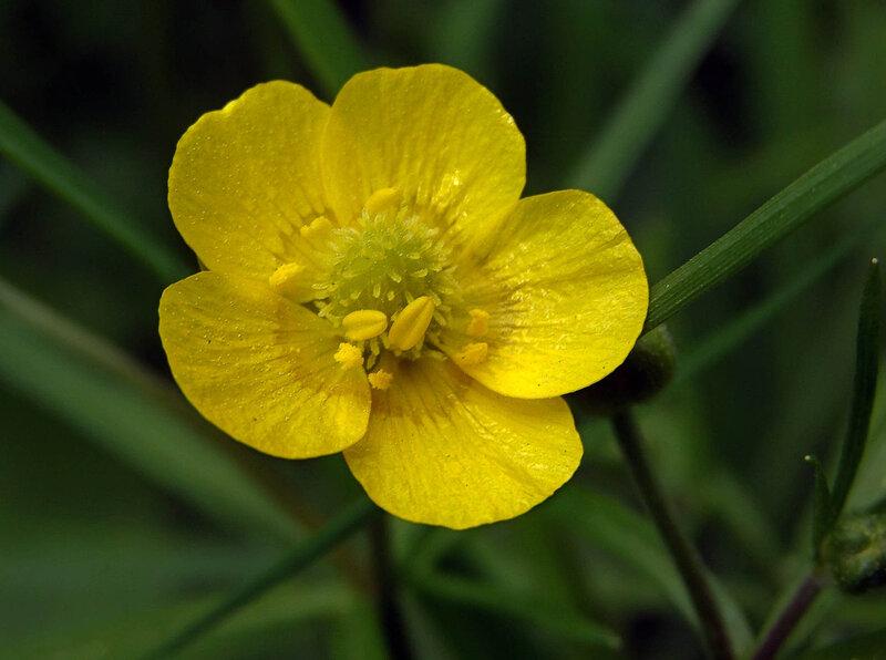 Цветок лютик картинка 8