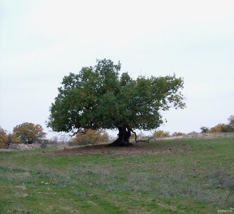 Большой красивый дуб!