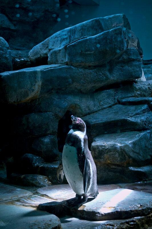фотографии пингвинов. Пражский зоопарк. фотограф Кузьмин