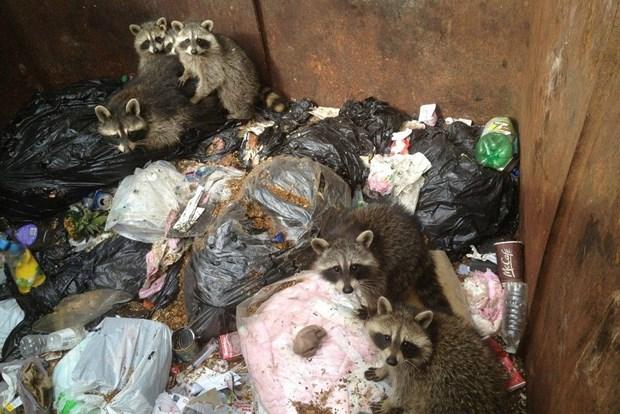 Фотоистория. Енотики в мусорном баке