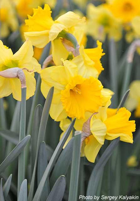 Narcissus Golden Harvest.JPG