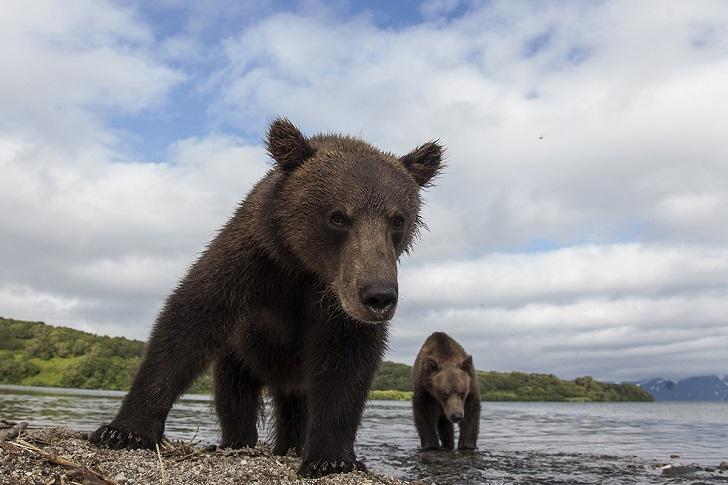 Второй медвежонок тоже развернулся и пошел в нашу сторону, правда, близко не подходил. Мама не обрат