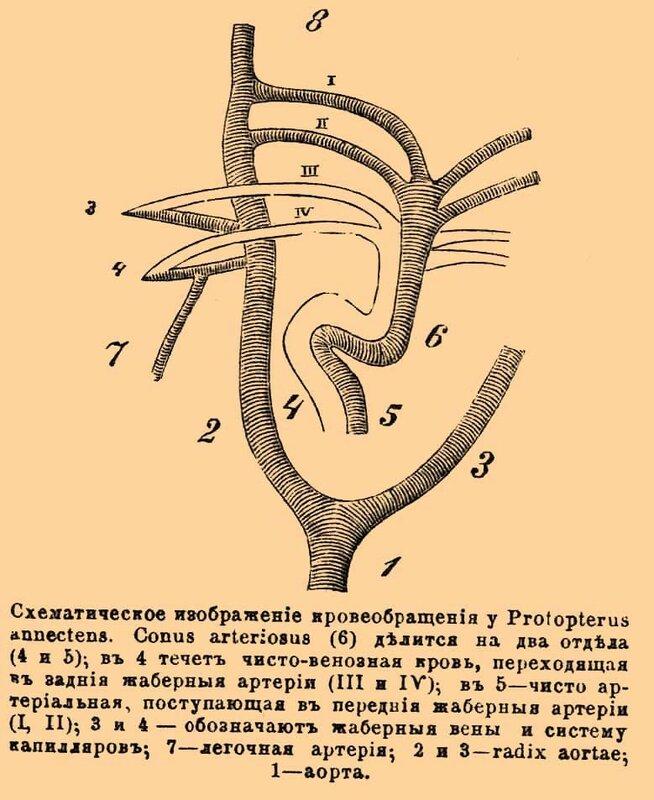 Схематическое изображение кровообращения у Propterus annectens.  Conus arteriosus (6) делится на два отдела (4 и 5)...